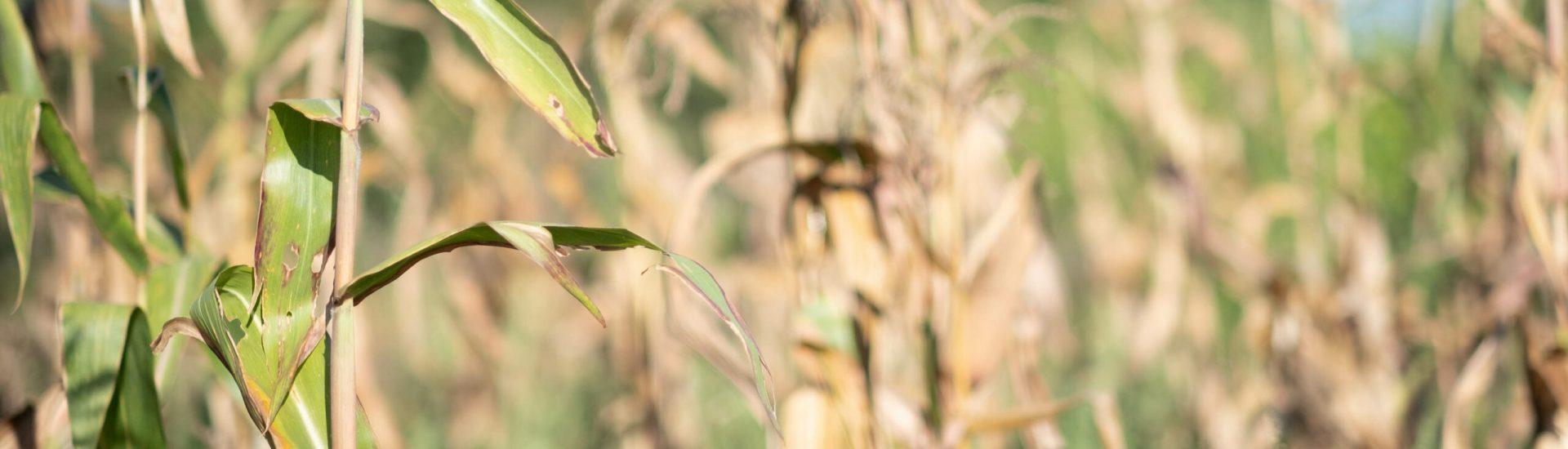 Part5_corn